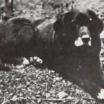 labrador Nell