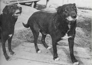 Viimased kaks St.Johni koera